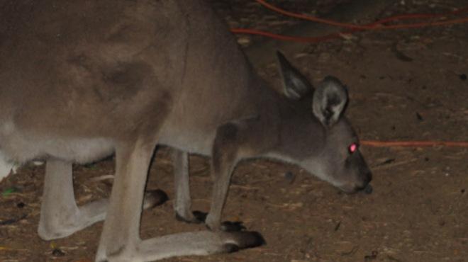 Outside the Caravan - Olive Eating Kangaroos